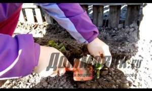 Embedded thumbnail for Как пересаживать клубнику весной