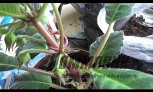Embedded thumbnail for Как ухаживать за глоксинией