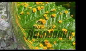 Embedded thumbnail for Болезни малины: причины и как лечить