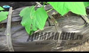 Embedded thumbnail for Как выращивать огурцы в теплице