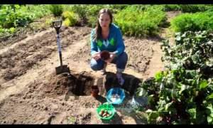 Embedded thumbnail for Как сажать тюльпаны весной
