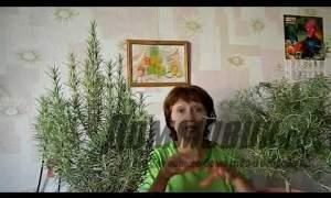 Embedded thumbnail for  Как выращивать розмарин?