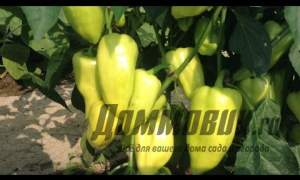 Embedded thumbnail for Выращивание рассады перцев в домашних условиях