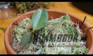 Embedded thumbnail for Размножение орхидей видео