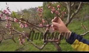 Embedded thumbnail for Зачем обрезать персик весной