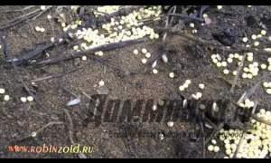 Embedded thumbnail for Как бороться с муравьями в огороде